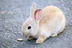 Mycket litet ljus - brun kanin Royaltyfri Bild