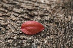 Mycket litet rött blad Royaltyfri Fotografi