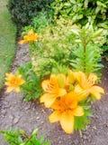 Mycket ljusa orange asiatiska liljor 3 arkivbilder