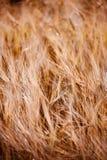 Mycket mjukt gräs royaltyfria bilder