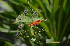 Mycket nätt ek Tiger Butterfly med långa vingar Royaltyfria Foton