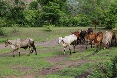 Mycket nötkreatur, kon, koflockar asia går i skoglantgårdbygd arkivbilder
