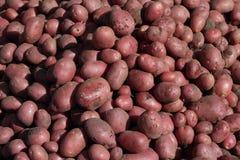 Mycket nya röda potatisar Arkivbilder