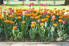Mycket orange och purpurfärgade tulpan som är utomhus- i rabatten horisontalfotoformat Arkivfoton