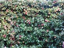 Mycket röda äpplen mognade på ett äppleträd royaltyfria bilder