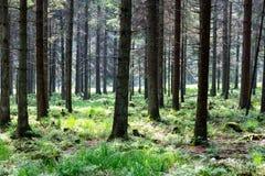 Mycket raka standinträd - i nationalparken höga Venn i Belg royaltyfri bild