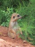 Mycket roliga och roliga meerkats på en gå i zoo som poserar för fotografer Royaltyfri Fotografi