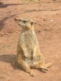 Mycket roliga och roliga meerkats på en gå i zoo som poserar för fotografer Arkivbilder