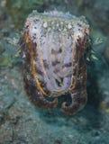 Mycket sällsynt flamboyant bläckfisk medan gyttja som dyker av fältprästen Burgos, Leyte, Filippinerna Royaltyfri Fotografi