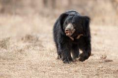 Mycket sällsynt manligt sökande för sengångarebjörn för termit i indisk skog Royaltyfri Foto