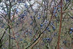 Mycket sen höst för blåa bär Royaltyfria Foton