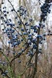 Mycket sen höst för blåa bär Royaltyfri Fotografi