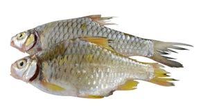 Mycket - sikt av den rå fisken på den vita bakgrunden Royaltyfri Bild