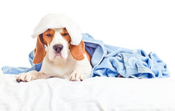 Mycket sjuk hund Arkivfoto