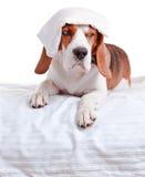 Mycket sjuk hund på vit bakgrund Arkivbild