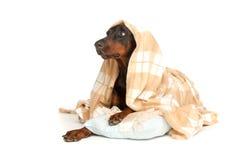 Mycket sjuk hund under en filt Arkivfoton