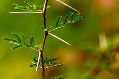 Mycket skarp och lång tagg på en tunn Vachellia niloticaväxt ste Royaltyfri Bild