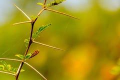Mycket skarp och lång tagg på en tunn Vachellia niloticaväxt ste Arkivfoto