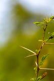 Mycket skarp och lång tagg på en tunn Vachellia niloticaväxt ste Royaltyfri Foto