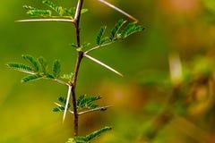 Mycket skarp och lång tagg på en tunn Vachellia niloticaväxt ste Royaltyfria Foton