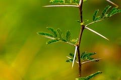 Mycket skarp och lång tagg på en tunn Vachellia niloticaväxt ste Royaltyfria Bilder