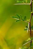 Mycket skarp och lång tagg på en tunn Vachellia niloticaväxt ste Arkivbild