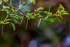 Mycket skarp och lång tagg på en tunn Vachellia niloticaväxt ste Arkivbilder