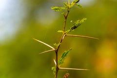Mycket skarp och lång tagg på en tunn Vachellia niloticaväxt ste Royaltyfri Fotografi