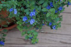 Mycket små blåa purpurfärgade blommor i en kruka på uteplatsen royaltyfria foton