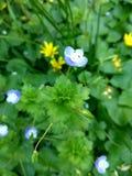 Mycket små blått blommar på ett oskarpt grönt gräs och gulnar blommabakgrund royaltyfri bild