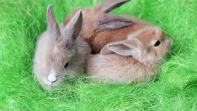 Mycket små fluffiga kaniner vilar tillsammans, det easter symbolet, små gulliga färgrika djur har gyckel stock video