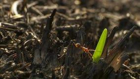 Mycket små gräs-skäraren myror klipper bladet och som in förlägger till trädgården av svampen Det ruttna gräset matar svampen, oc royaltyfria bilder