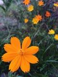 Mycket små härliga gula blommor som blommar i skogen arkivbilder