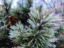 Mycket små istappar på granträdfilialen, detalj av naturen under vintersäsong Arkivfoton