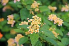 Mycket små knoppar för vit blomma Royaltyfri Bild