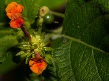 Mycket små och delikata orange blommor av Lantanaväxten Arkivfoto