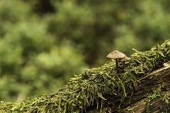Mycket mycket små och sårbara champinjoner fotografering för bildbyråer