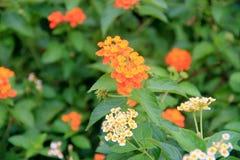 Mycket små orange blommaknoppar Arkivfoton