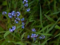 Mycket små purpurfärgade blom på gröna stammar i gräset arkivfoton