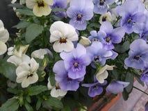 Mycket små purpurfärgade och vita Pansies arkivfoton