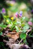 Mycket små purpurfärgade skogvildblommor i vår Arkivbilder