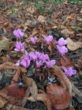 Mycket små skogrosa färgblommor Royaltyfri Fotografi