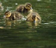 Mycket små små ankungar på vatten Royaltyfria Bilder