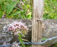 Mycket små spetsiga rosa färger blommar fäst till trästaketet arkivfoto