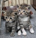 Mycket små strimmig kattkattungar Arkivfoton