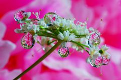 Mycket små vita blommor i regndropparna arkivfoton