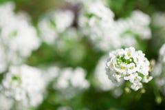 Mycket små vita blommor i trädgården arkivfoto