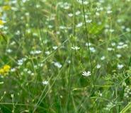 Mycket små vita blommor på ängen royaltyfri fotografi