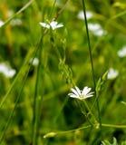 Mycket små vita blommor på ängen arkivbild