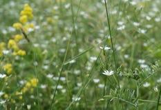 Mycket små vita blommor på ängen arkivfoto
